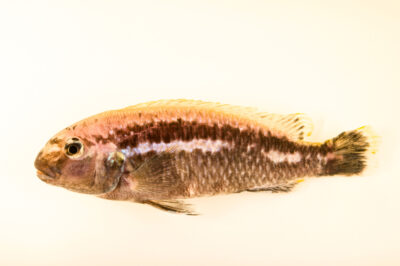 Photo: A haplochromine cichlid (Melanochromis species) from a private collection.