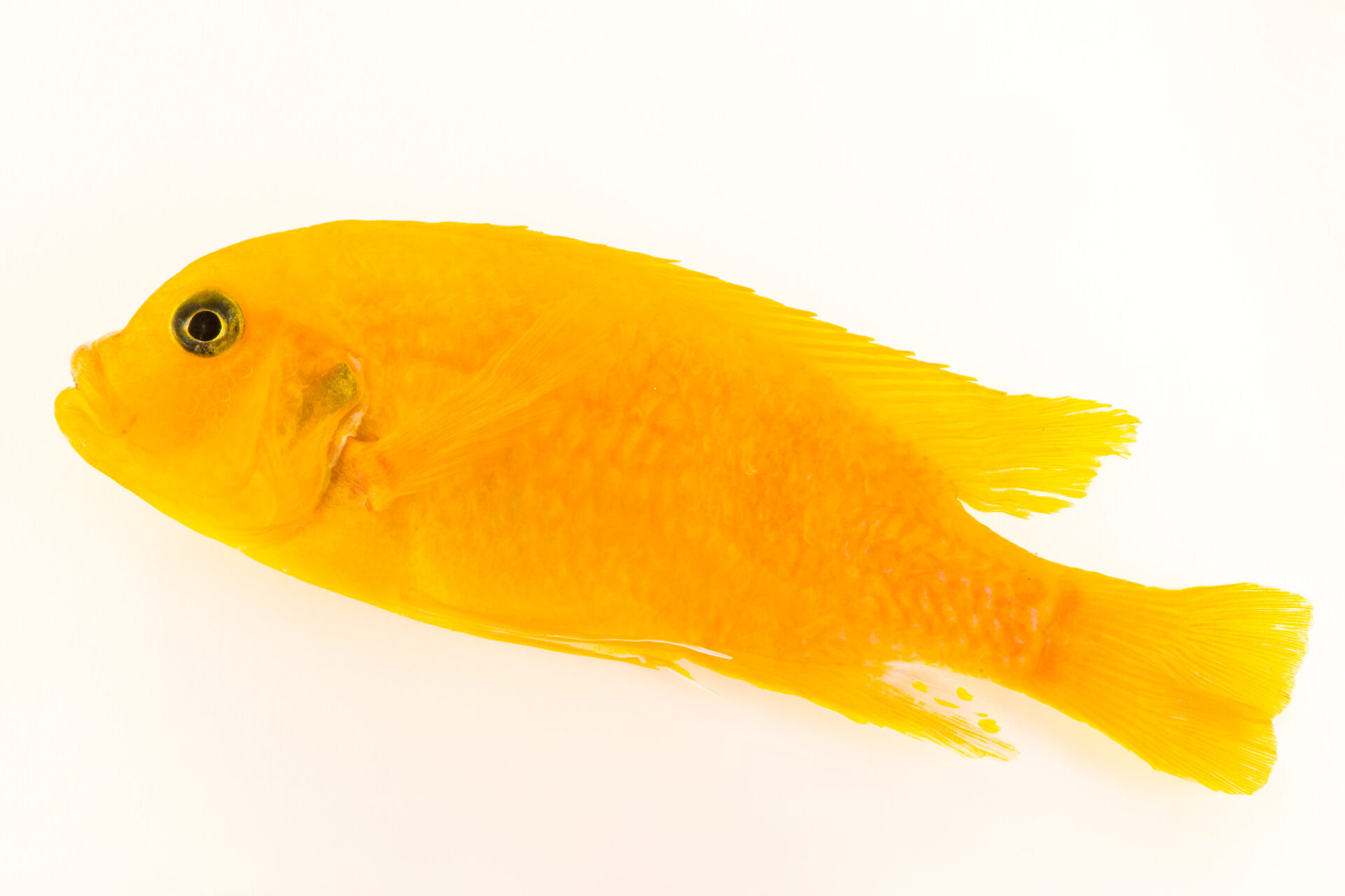 Photo: A critically endangered female cichlid (Pseudotropheus saulosi) from a private collection.