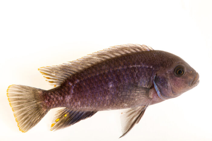 Photo: A critically endangered male cichlid (Pseudotropheus saulosi) from a private collection.