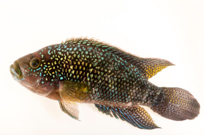 Photo: A Jack Dempsey cichlid (Rocio octofasciata) from a private collection.