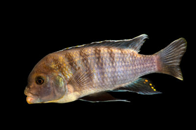 Photo: A flavescent peacock cichlid (Aulonocara stuartgranti) at the Institute of Marine Mammal Studies (IMMS) at Gulfport, MS. This animal is part of their public education area.