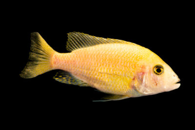Photo: An electric yellow cichlid (Labidochromis caeruleus) at the Institute of Marine Mammal Studies (IMMS) at Gulfport, MS. This animal is part of their public education area.