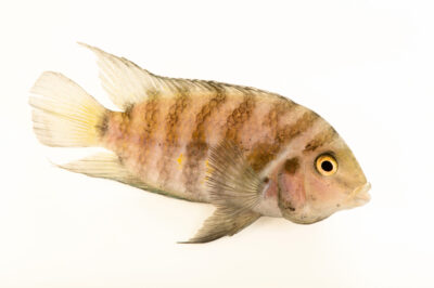 Photo: A convict cichlid (Amatitlania nigrofasciata) at the Institute of Marine Mammal Studies (IMMS) at Gulfport, MS. This animal is part of their public education area.