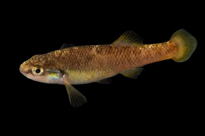 Photo: A finescale splitfin (Allodontichthys polylepis) at Aquarium Berlin.