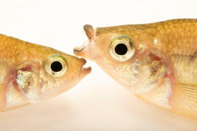 Photo: Two Balsas splitfins (Ilyodon whitei) at Zoo Plzeň.