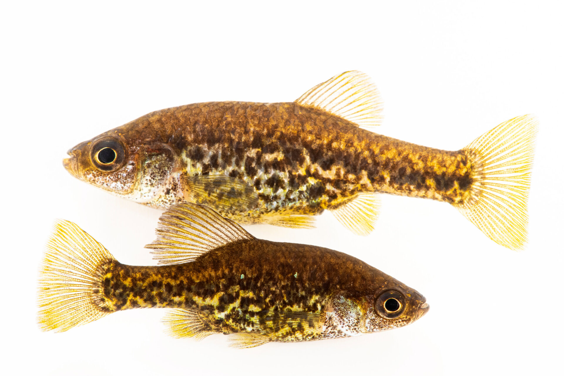 Photo: A critically endangered pair of polka-dot splitfin (Chapalichthys pardalis) at Plzen Zoo in the Czech Republic.
