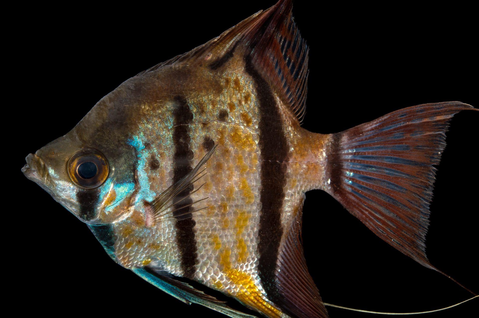 Photo: Freshwater angelfish (Pterophyllum scalare), of Peru, at L'aquarium tropical du palais de la Porte DorŽe.