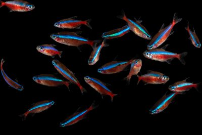 Photo: Cardinal tetra (Paracheirodon axelrodi) at the Dallas World Aquarium.