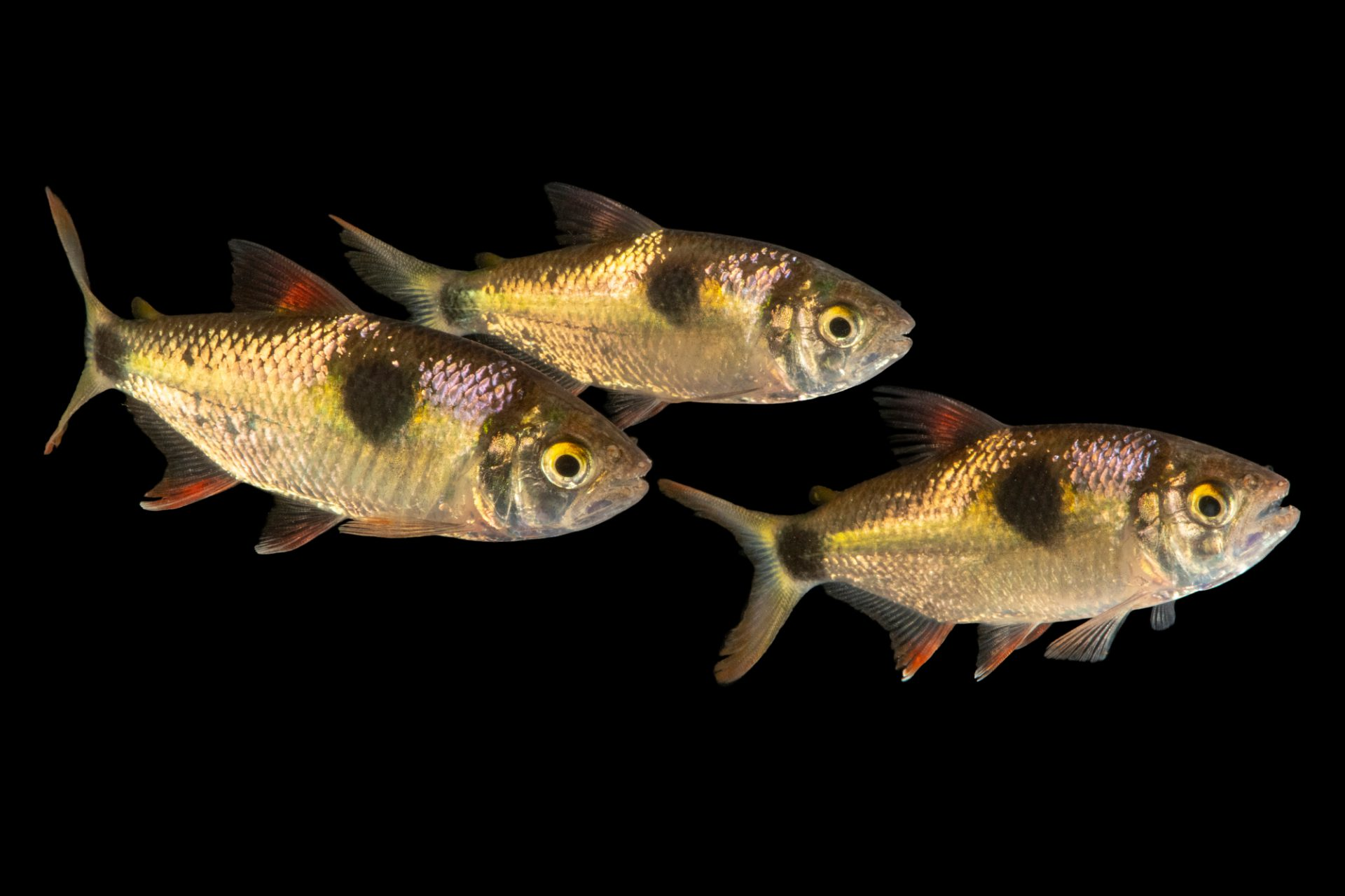 Photo: Bucktooth tetra (Exodon paradoxus) at Faunia in Madrid, Spain.