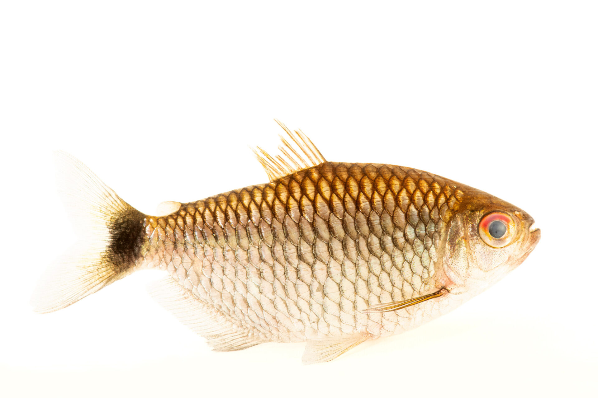 Photo: A tetra (Markiana nigripinnis) at the aquarium of the Manaus Zoo. This Zoo is ran by the military, or CIGS.
