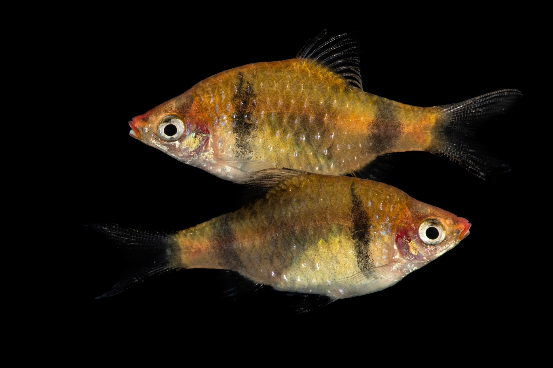Photo: Critically Endangered Bandula barb (Pethia bandula) at the Plzen Zoo. This is the Photo Ark's 9,000th species!
