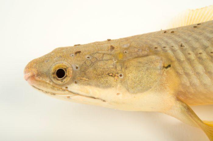 Photo: Senegal bichir (Polypterus senegalus) at L'aquarium tropical du palais de la Porte DorŽe.