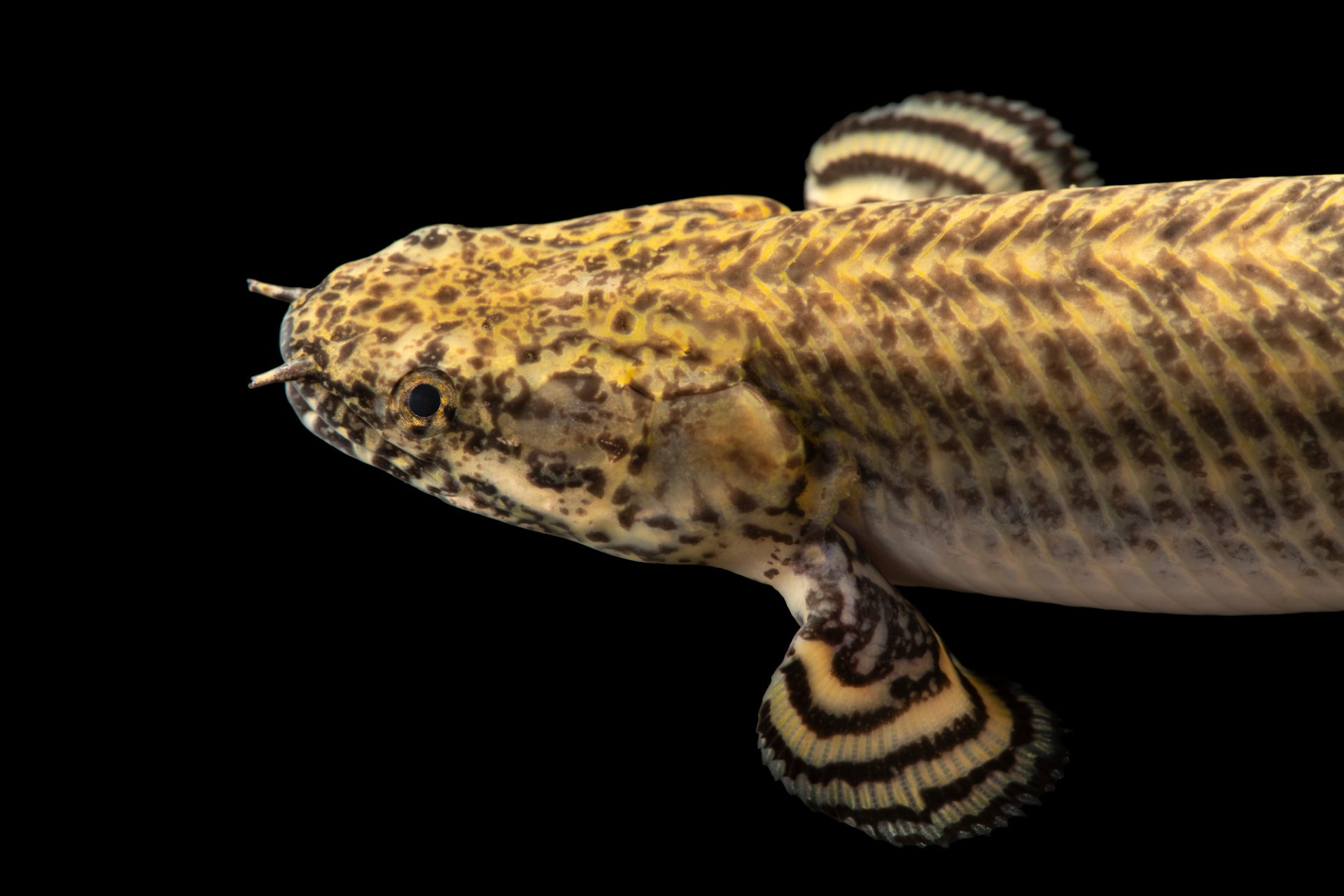 Photo: Ornate bichir (Polypterus ornatipinnis) at Moscow Zoo.