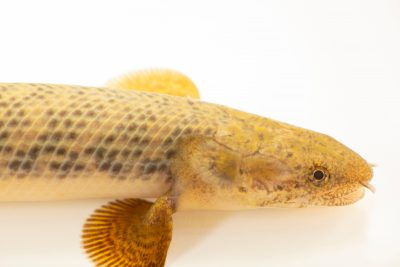 Photo: An unidentified bichir at Moscow Zoo.