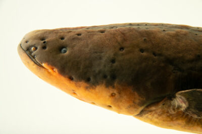 Photo: An electric eel (Electrophorus electricus) at the Oklahoma Aquarium.
