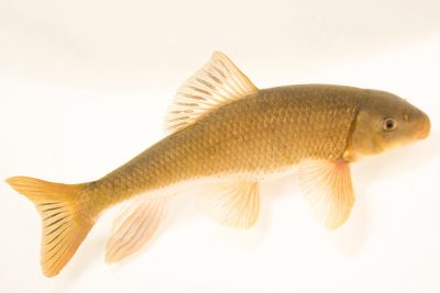 Photo: Gray redhorse (Moxostoma congestum) at the Albuquerque BioPark's Aquatic Conservation Facility (ACF).