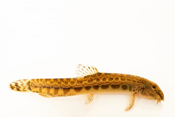 Photo: Spined loach or Lamprehuela (Cobitis calderoni) at the Environmental Education Center of the Ribeiras de Gaia.