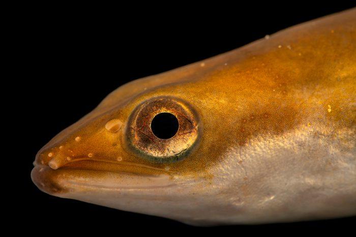 Photo: European eel or Enguia (Anguilla anguilla) at the Environmental Education Center of the Ribeiras de Gaia.