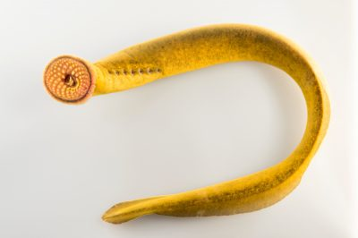 Photo: Silver lamprey (Ichthyomyzon unicuspis) at the University Lab at the University of Minnesota in St. Paul.