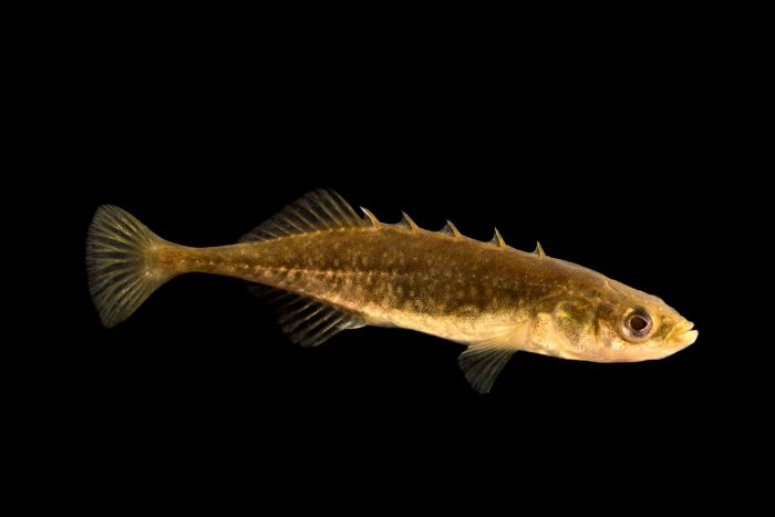 Photo: Brook stickleback (Culaea inconstans) at the University Lab at the University of Minnesota in St. Paul.