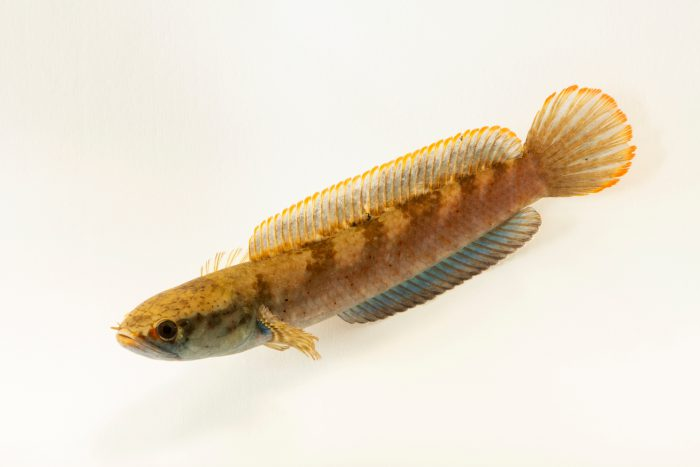Photo: An undescribed snakehead fish native to India (Channa sp.) from a private collection.