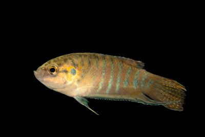 Photo: A female paradise gourami (Macropodus opercularis) from a private collection.
