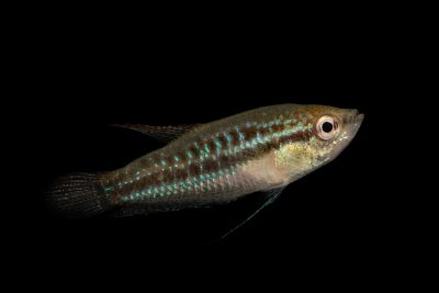 Photo: A male sparkling gourami (Trichopsis pumila) from a private collection.