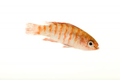Photo: Scarlet badis (Dario dario) from a private collection.