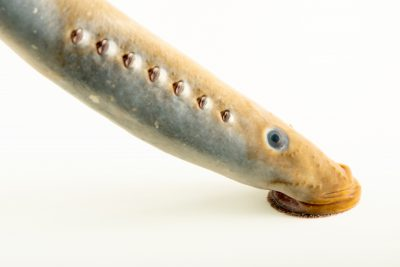 Photo: Pacific lamprey (Entosphenus tridentatus) at the MK Nature Center in Boise, Idaho.