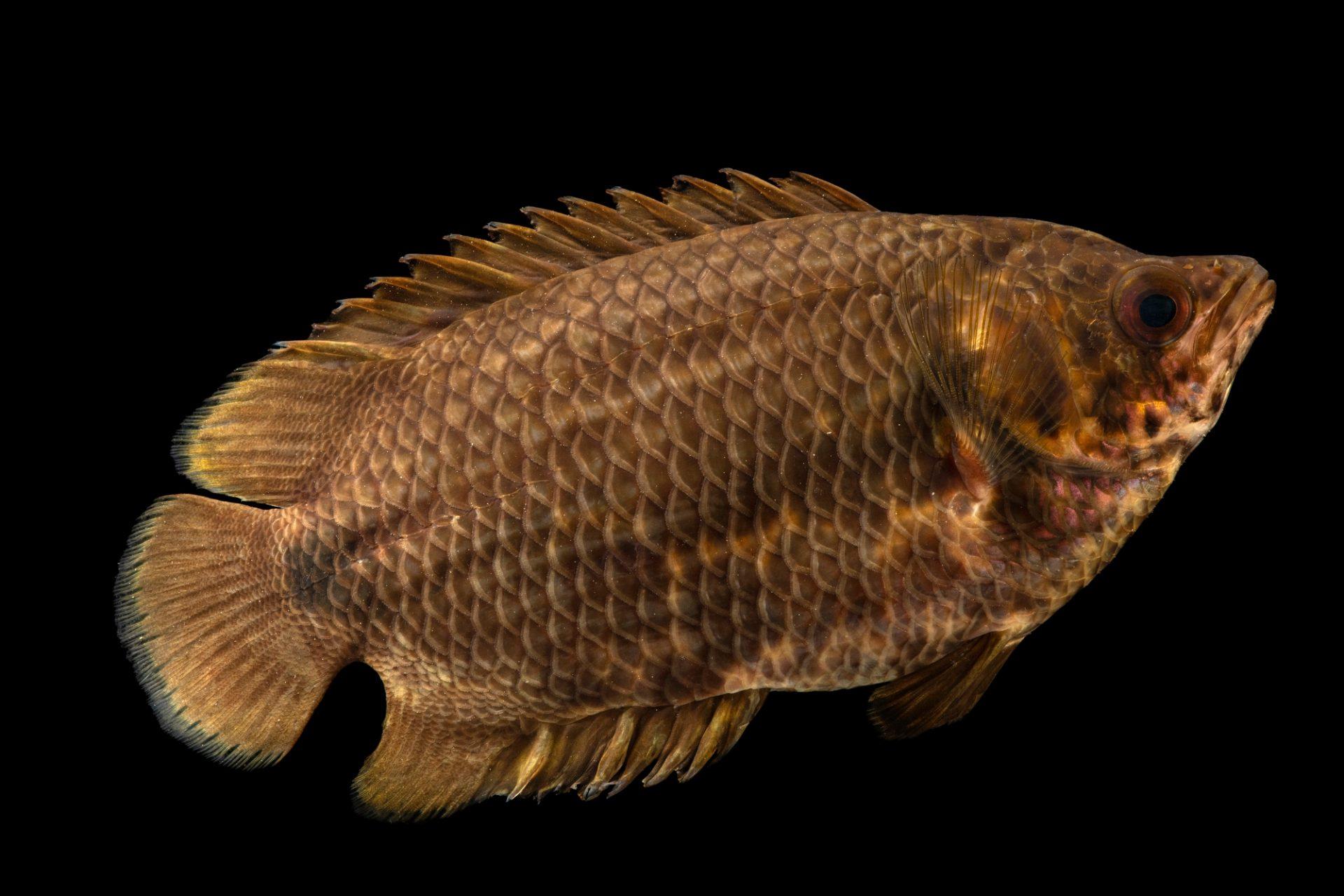 Photo: A leopard bush fish (Ctenopoma acutirostre) at the Fish Biodiversity Lab at Auburn University.