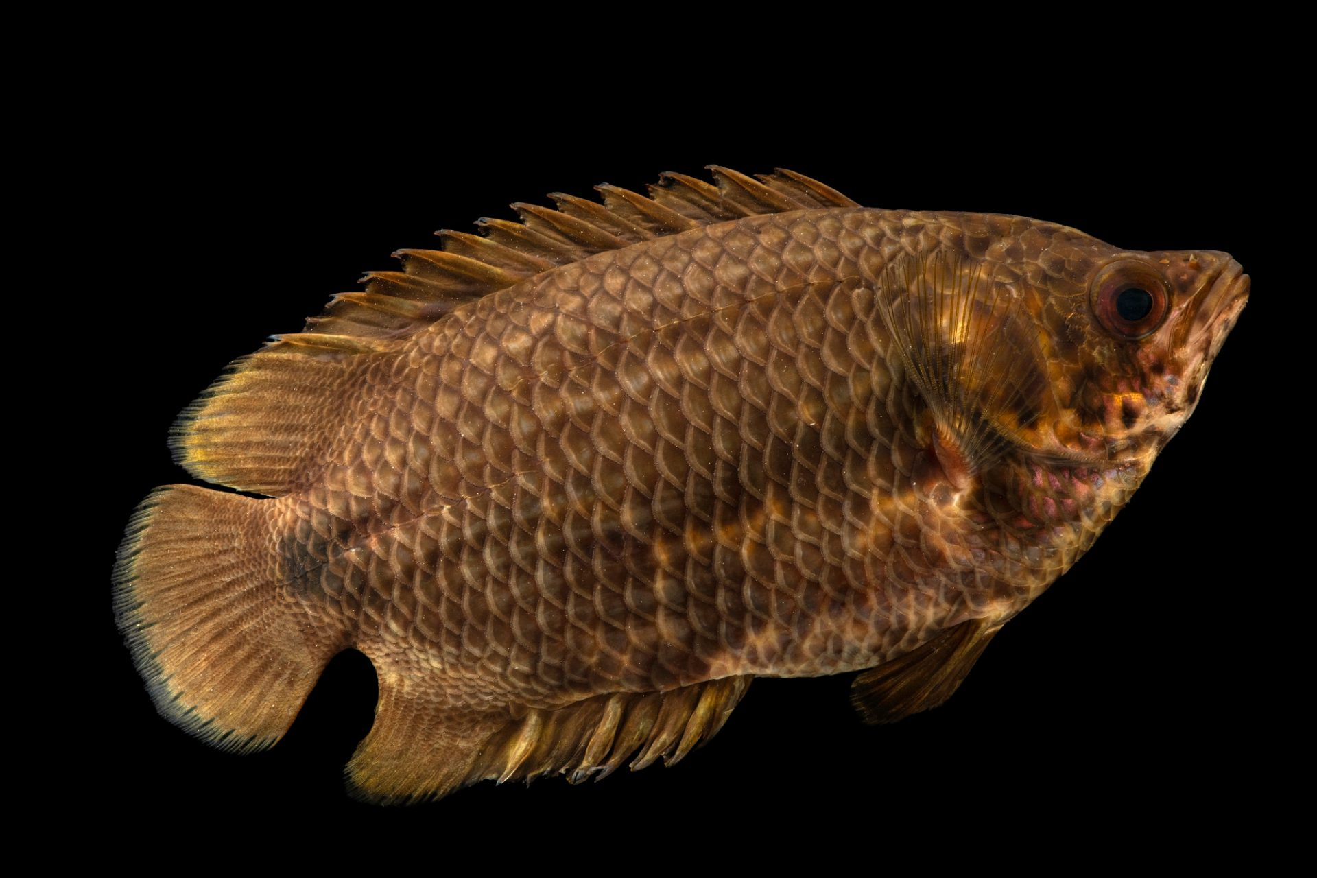 Photo: A leopard bush fish (Ctenopoma acutirostre) at the Fish Biodiversity Lab at Auburn University.