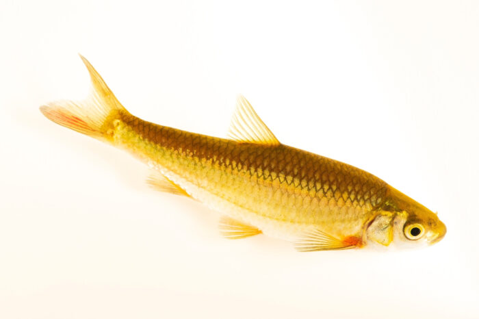 Photo: An endangered Ruivaco-do-oeste, Achondrostoma occidentale, a rare freshwater fish at the Vasco da Gama Aquarium.