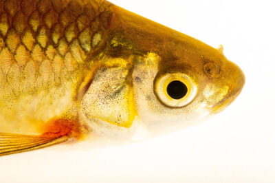 Photo: An endangered Ruivaco-do-oeste, Achondrostoma occidentale, a rare freshwater fish at the Vasco da Gama Aquarium.