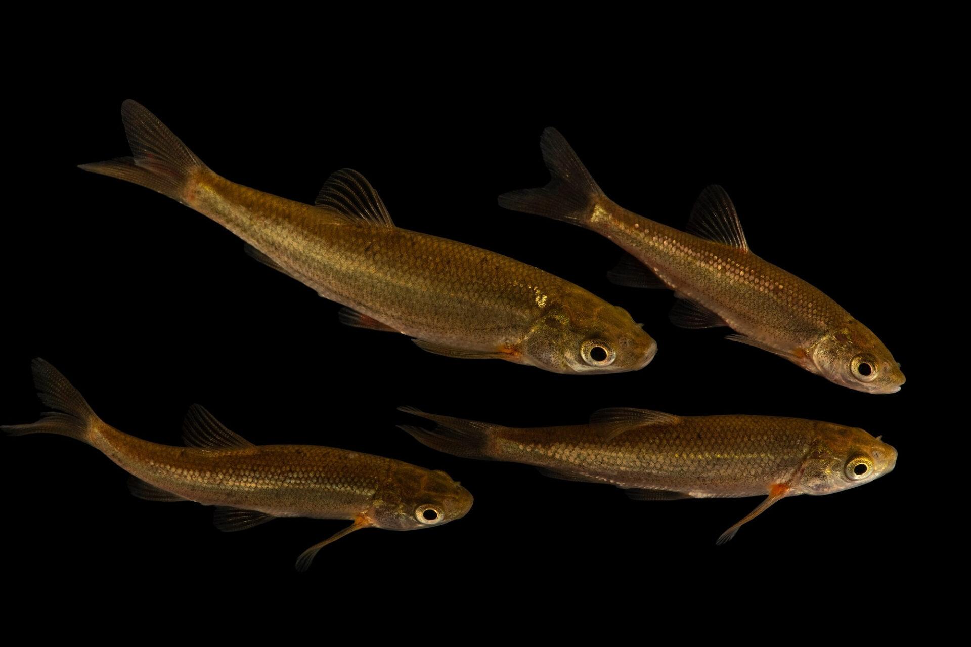 Photo: Critically endangered Boga-do-sudoeste, Iberochondrostoma almacai, rare freshwater fish at the Vasco da Gama Aquarium.