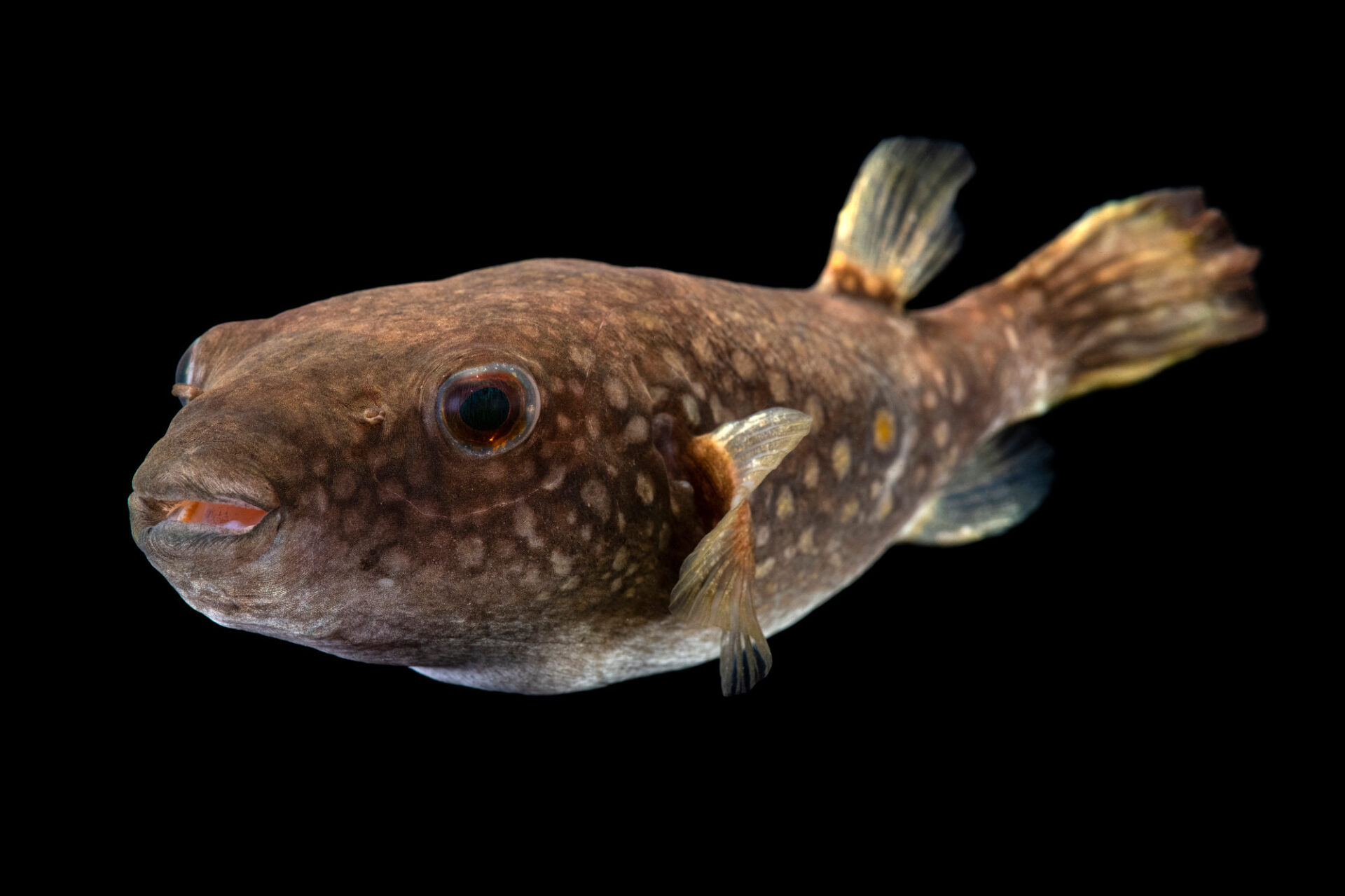Photo: An Arrowhead puffer (Pao suvattii) from a private collection in St. Augustine, Florida.