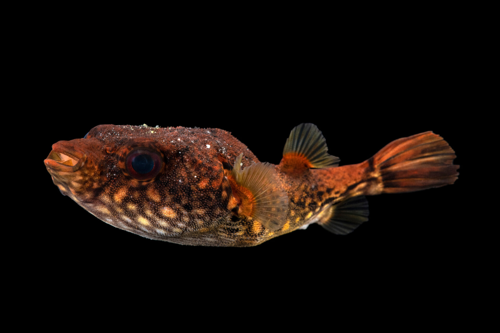 Photo: A freshwater pufferfish (Pao palembangensis) from a private collection in St. Augustine, Florida.