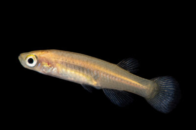 Photo: A female Roberta's toothcarp or Roberta's killifish (Valencia robertae) from Greece at the Plzen Zoo. This species is critically endangered and occurs in two small rivers in Greece: lower Pinios in northern Peloponnese and Mornos Rivers in southern mainland of Greece.