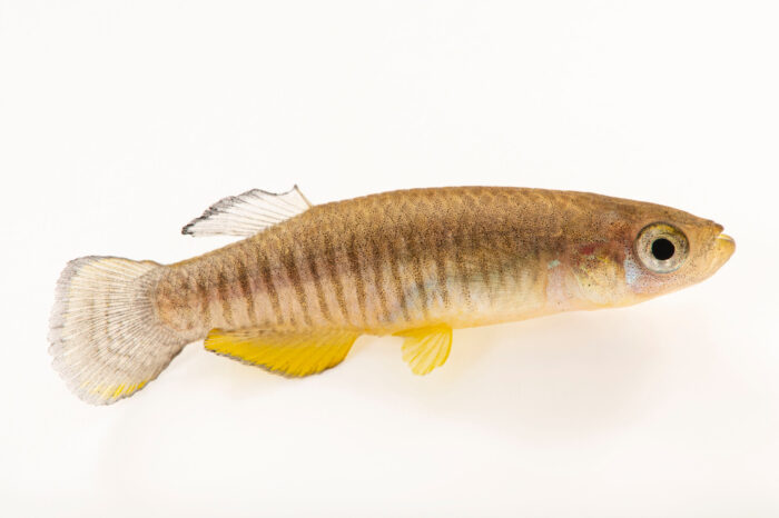 Photo: A male Roberta's toothcarp or Roberta's killifish (Valencia robertae) from Greece at the Plzen Zoo. This species is critically endangered and occurs in two small rivers in Greece: lower Pinios in northern Peloponnese and Mornos Rivers in southern mainland of Greece.