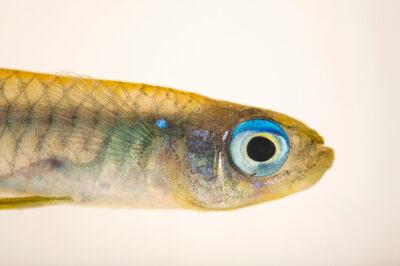 Photo: A shining eye killifish (Aplocheilichthys normani) at Plzen Zoo in the Czech Republic.