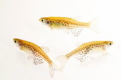 Photo: Gold-ring danio (Danio tinwinii) at Plzen Zoo in the Czech Republic.