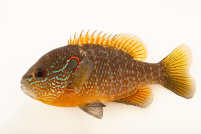 Photo: A Northern sunfish (Lepomis peltastes) from a private collection in Knoxville, Tennessee.
