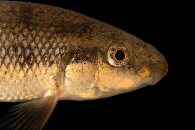 Photo: A Western creek chubsucker (Erimyzon claviformis) at Conservation Fisheries in Knoxville, Tennessee.