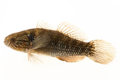 Photo: A fat sleeper (Dormitator maculatus) at Conservation Fisheries in Knoxville, Tennessee.