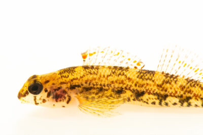Photo: A coosa darter (Etheostoma coosae) photographed at the Alabama Aquatic Biodiversity Center in Marion, AL. This fish was collected from Walnut Creek in Chilton County, AL.