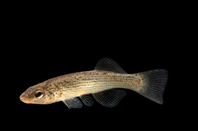 Photo: A northern studfish (Fundulus catenatus) photographed at the Alabama Aquatic Biodiversity Center in Marion, AL. This fish was collected from Butler Creek, Lauderdale County, AL.