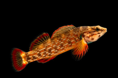 Photo: A male redline darter (Etheostoma rufilineatum) photographed at the Alabama Aquatic Biodiversity Center in Marion, AL. This fish was collected from Butler Creek, Lauderdale County, AL.