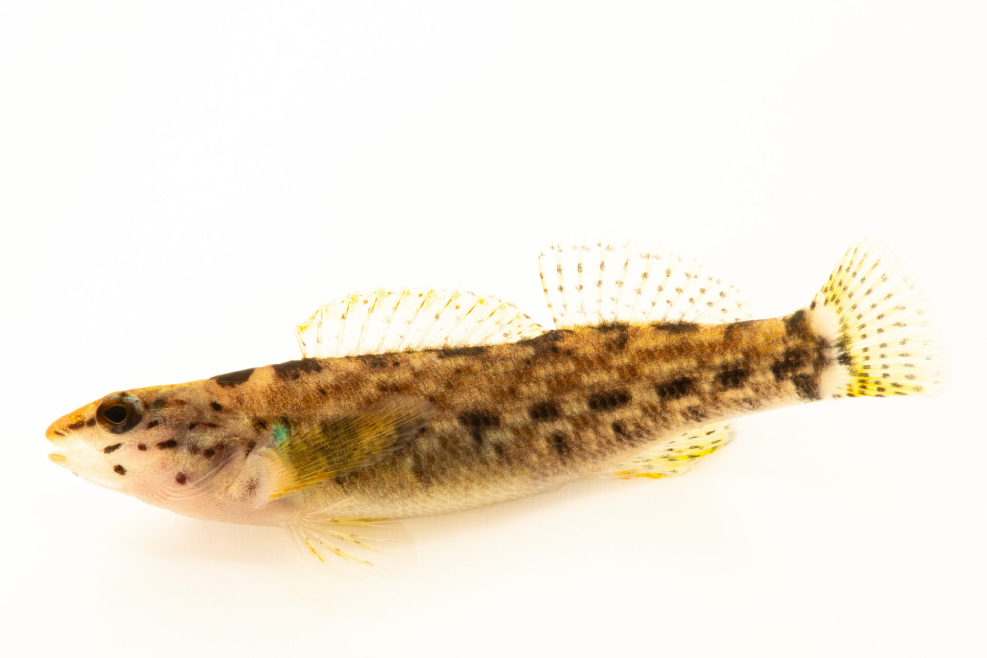 Photo: A female redline darter (Etheostoma rufilineatum) photographed at the Alabama Aquatic Biodiversity Center in Marion, AL. This fish was collected from Butler Creek, Lauderdale County, AL.