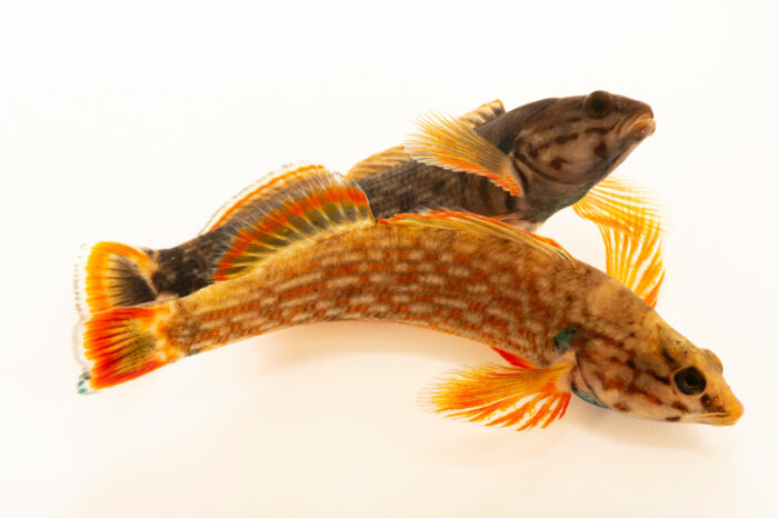Photo: Two male redline darters (Etheostoma rufilineatum) photographed at the Alabama Aquatic Biodiversity Center in Marion, AL. This fish was collected from Butler Creek, Lauderdale County, AL.