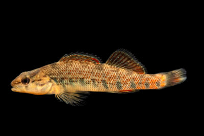 Photo: A rainbow darter (Etheostoma caeruleum) photographed at the Alabama Aquatic Biodiversity Center in Marion, AL. This fish was collected from Butler Creek, Lauderdale County, AL.