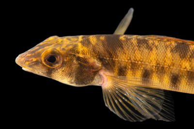 Photo: A mobile logperch (Percina kathae) photographed at the Alabama Aquatic Biodiversity Center in Marion, AL. This fish was collected from Walnut Creek, a tributary of the Cahaba River, AL.